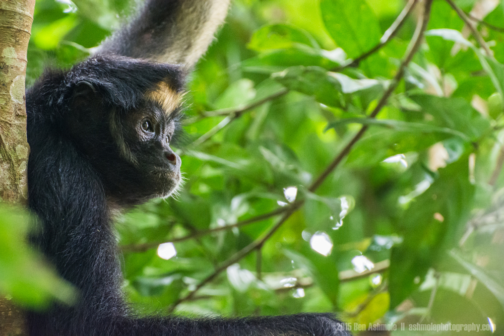Spider Monkey 2, Amazon Rainforest, Tena, Ecuador