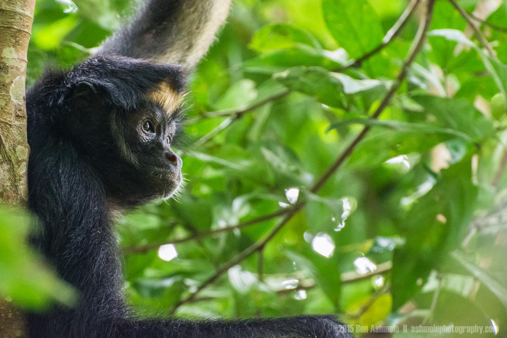 Spider Monkey 2, Amazon Rainforest, Tena, Ecuador