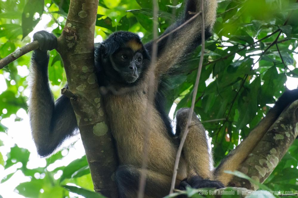 Spider Monkey, Amazon Rainforest, Tena, Ecuador