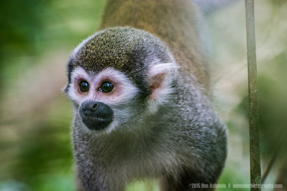 Squirrel Monkey 2, Amazon Rainforest, Tena, Ecuador