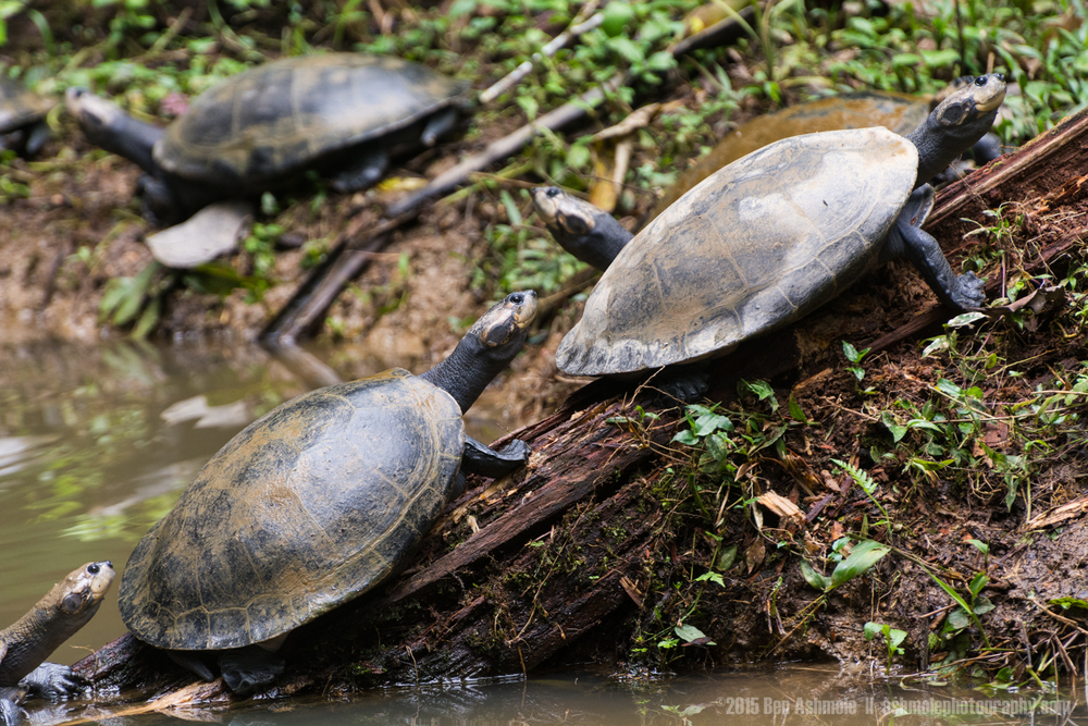 Amazon Turtles, Tena, Ecuador