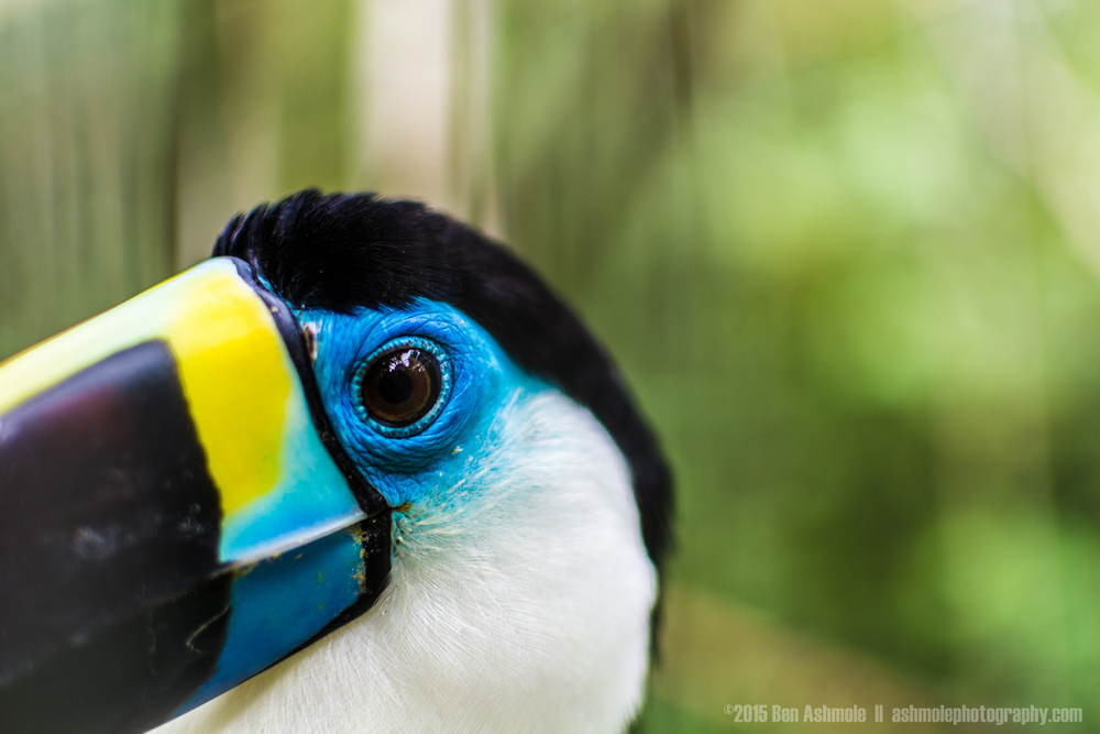 Portrait Of A Toucan, Amazon Rainforest, Ecuador