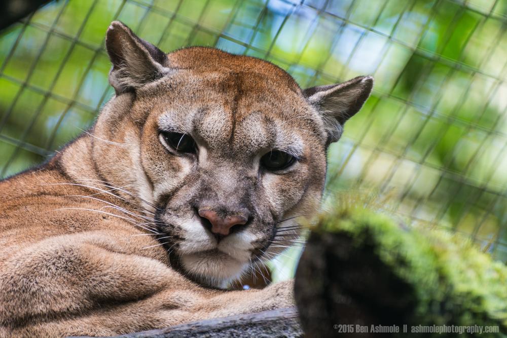 Puma, Merazonia Wildlife Sanctuary, Ecuador