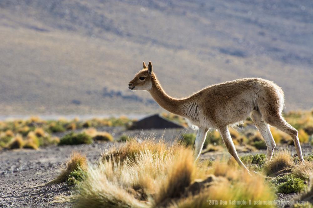 Vicuña, San Pedro De Atacama, Chile