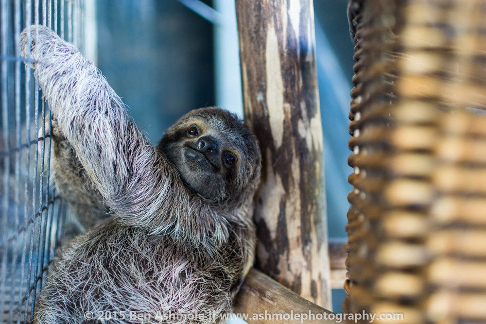 Rescued Sloth, Kids Saving The Rainforest NGO, Costa Rica