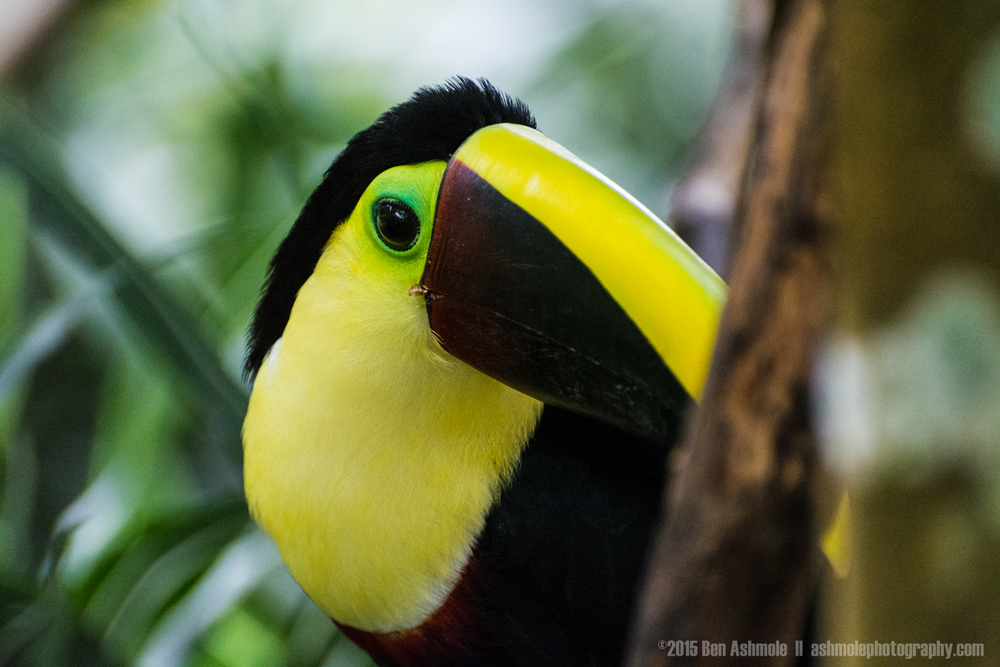 Toucan, Manuel Antonio National Park, Costa Rica