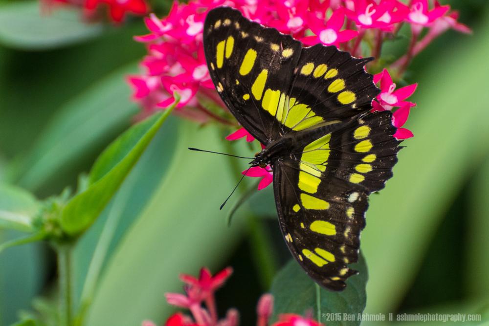 Butterfly, Manuel Antonio, Costa Rica