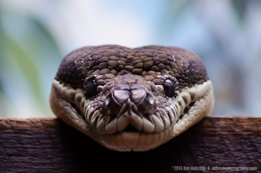 A Happy Snake, Australia Zoo, Queensland, Australia
