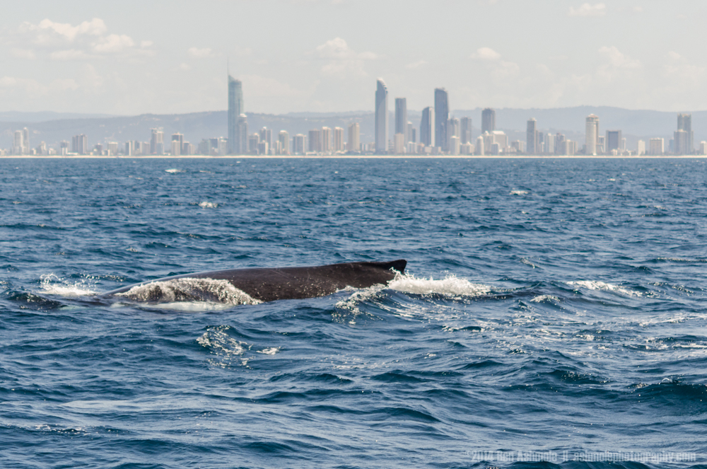 The Humpback And The City, Gold Coast, QLD, Australia