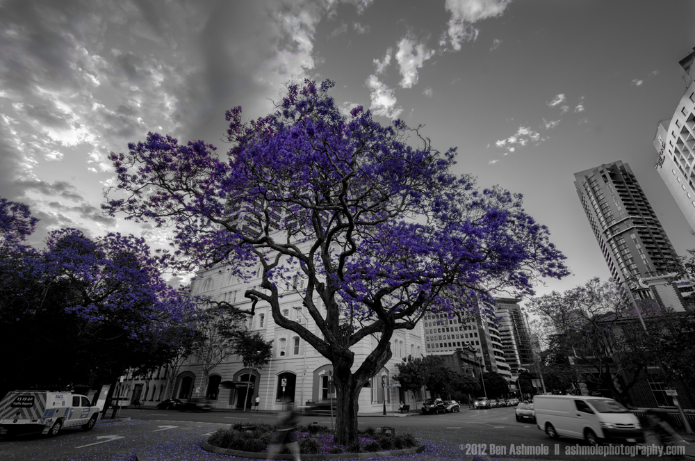The Jacaranda Tree, Brisbane, Australia, Ben Ashmole