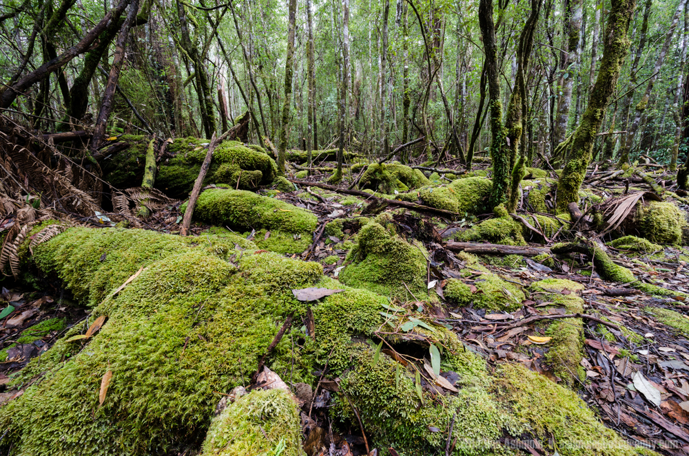 Forest Floor Details, Mt Field National Park, Tasmania, Australi