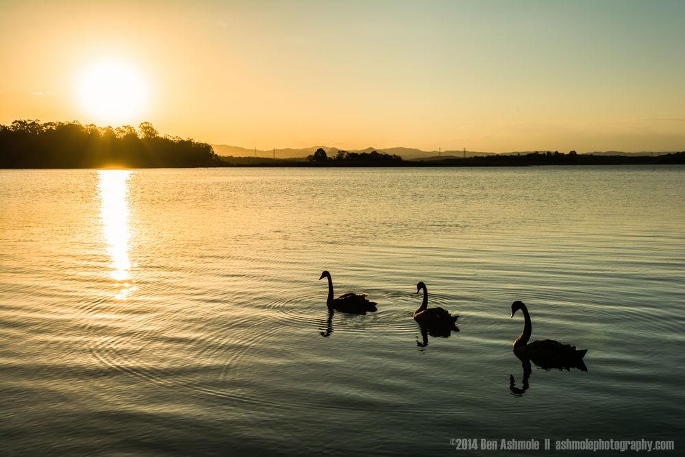 3 Black Swans And A Sunset, Lake Samsonvale, QLD, Australia