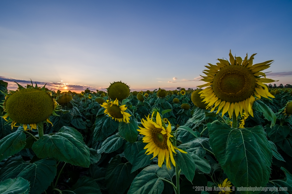 Sunflowers At Sunset, Warwick, Australia