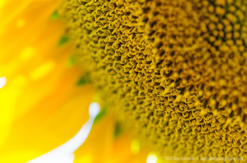 Sunflower Macro, Warwick, Australia