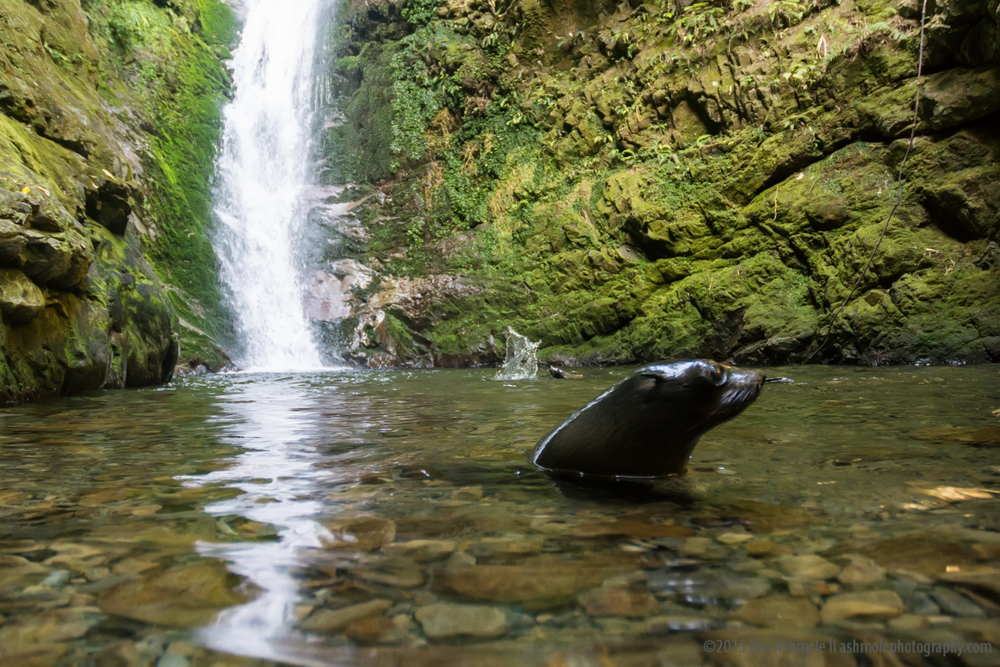 Fur Seal Pup And Waterfall, Kaikoura, New Zealand