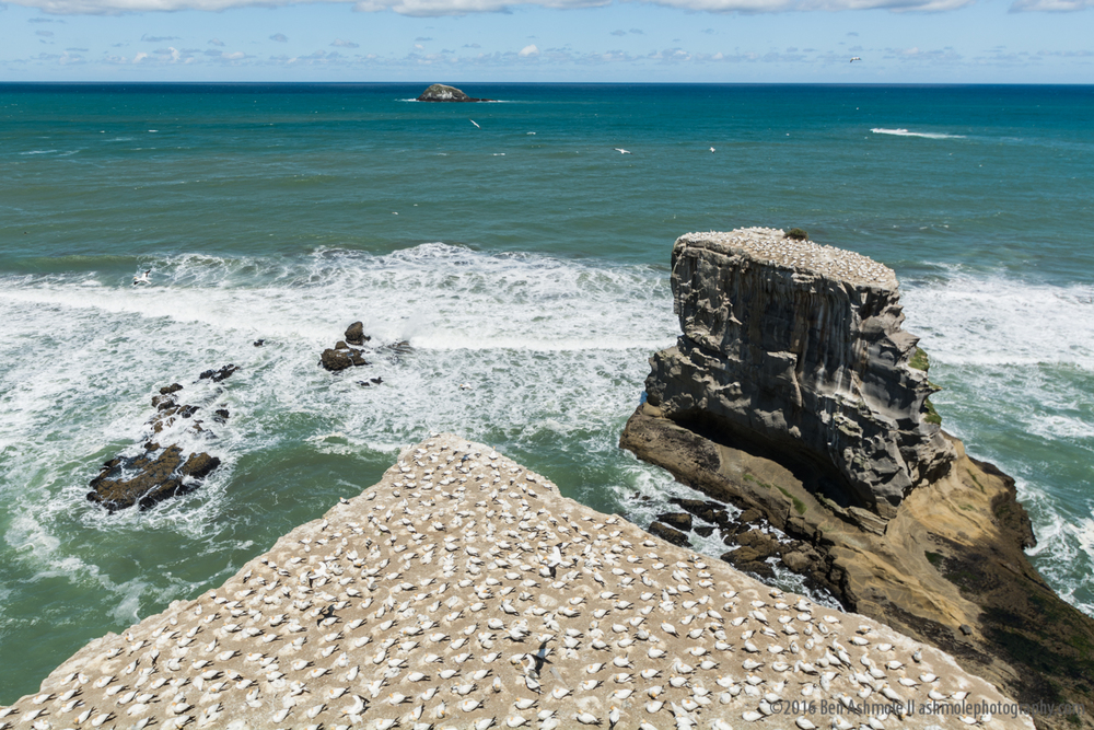 The Gannet Colony, Muriwai Beach, New Zealand