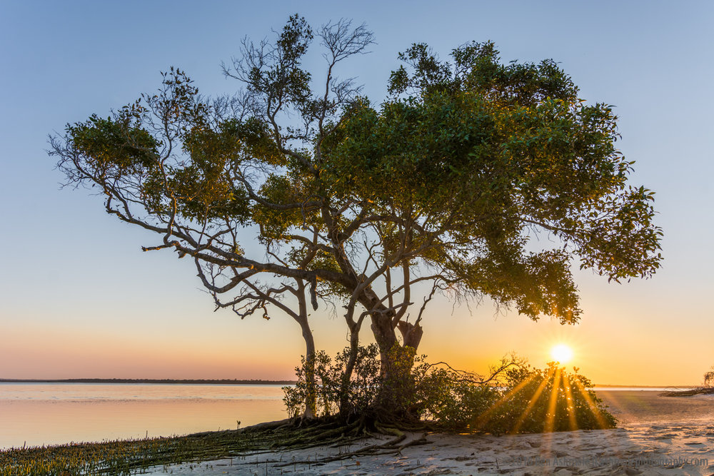Mangrove Sunstar, Rainbow Beach, Queensland, Australia