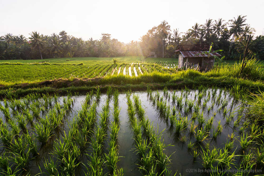 Morning Rice Terraces, Udub, Bali, Indonesia