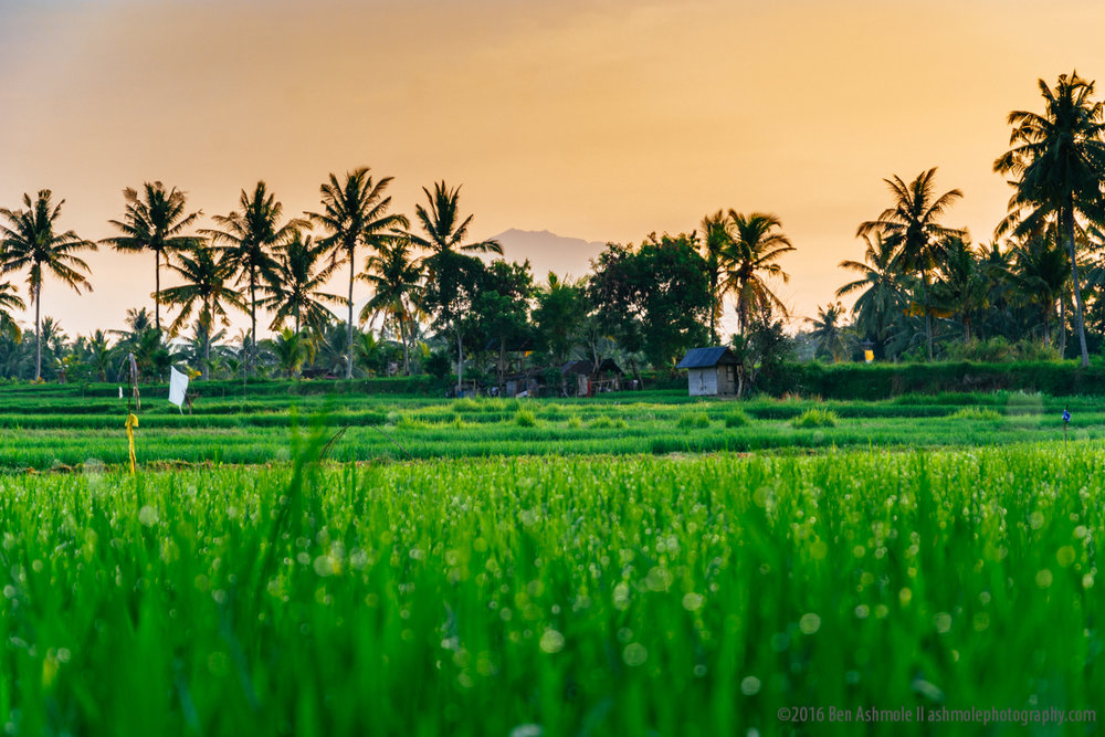 Morning Rice Fields, Ubud, Bali, Indonesia