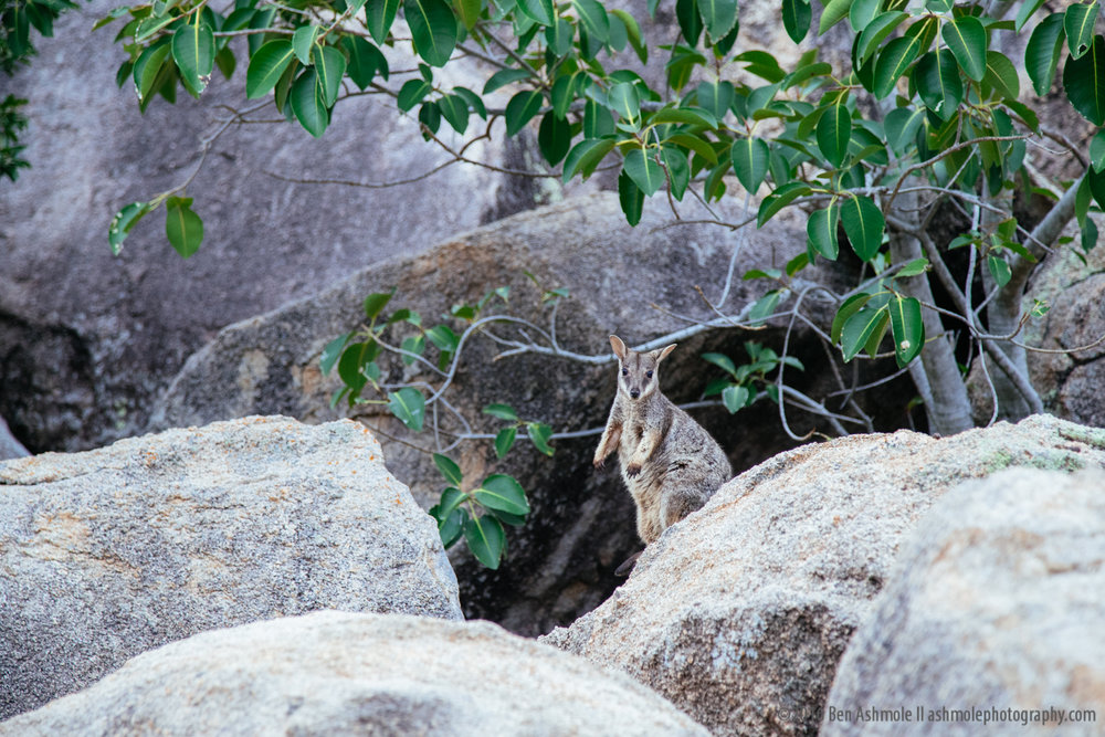 Rock Wallaby Portrait, Magnetic Island, Australia, Ben Ashmole-2