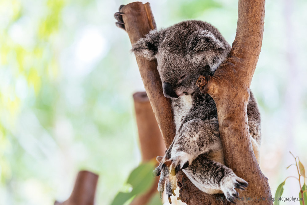 Sleeping Koala, Billabong Sanctuary, Townsville, Australia