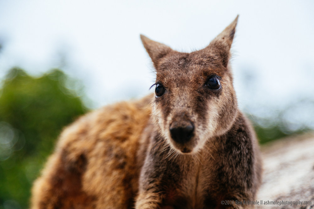 Rock Wallaby Portrait, Magnetic Island, Australia