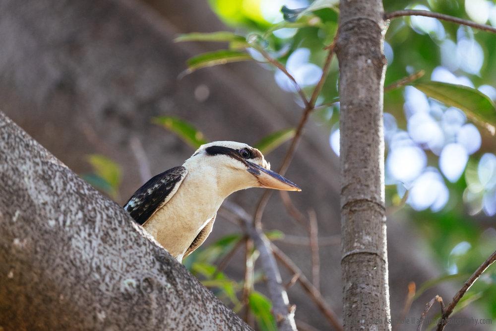 Kookaburra, Townsville, Australia