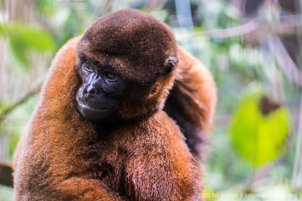 Woolly Monkey, Merazonia Wildlife Sanctuary, Ecuador