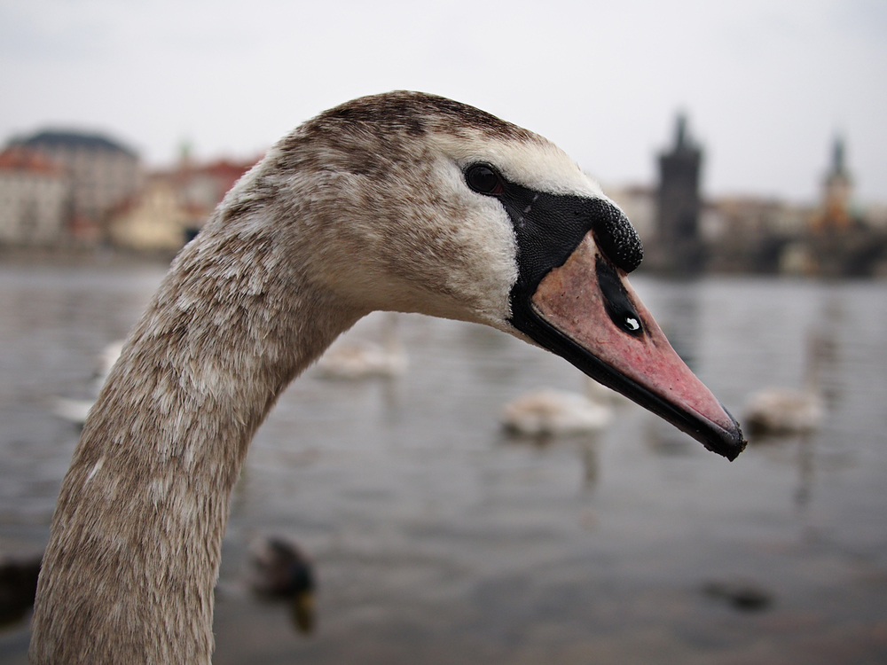 At the base of the Charle's bridge we were able to stand by the river's edge and hang out with a gaggle of swans. They were friendly though this one appears a bit incredulous.