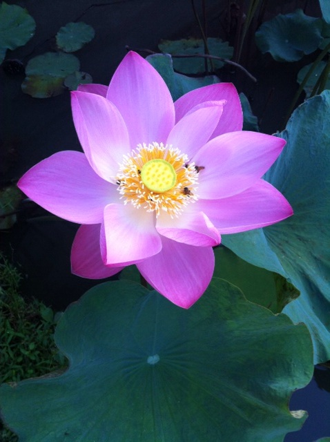 Lotus in my backyard