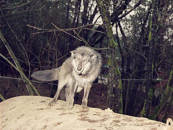 Wolf1_4x5.jpg