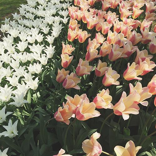 An American In: Kuekenhof Tulip Gardens, Holland | Second Floor Flat