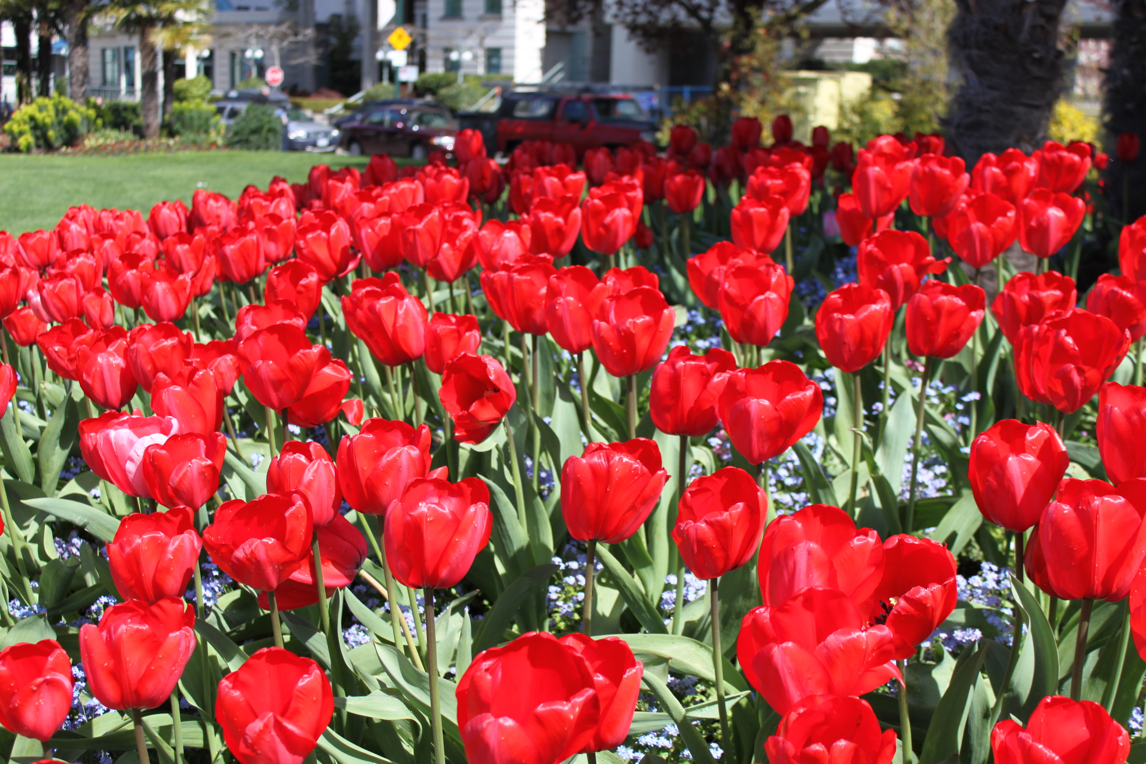 Tulips English Bay 2