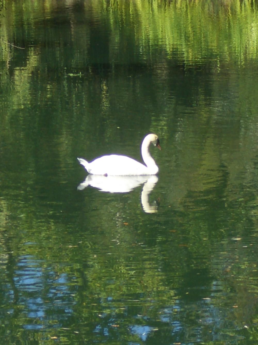 Swan at Montelena