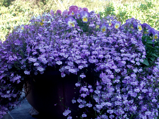 Lobelia%20in%20Chinese%20pot.jpg