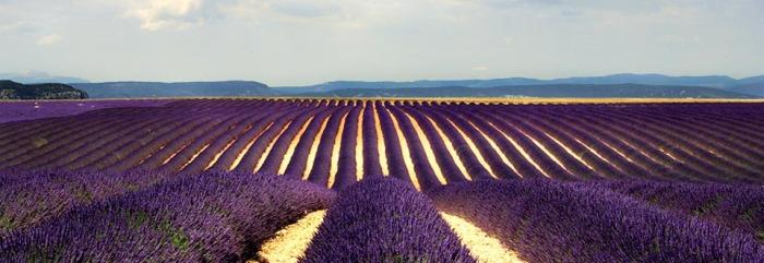 Provence Lavender field.jpg