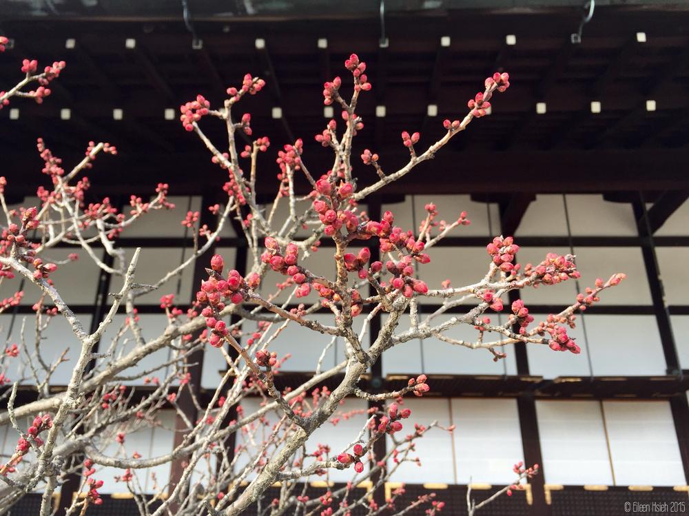 「御常御殿」外胭脂色的花苞。© Eileen Hsieh