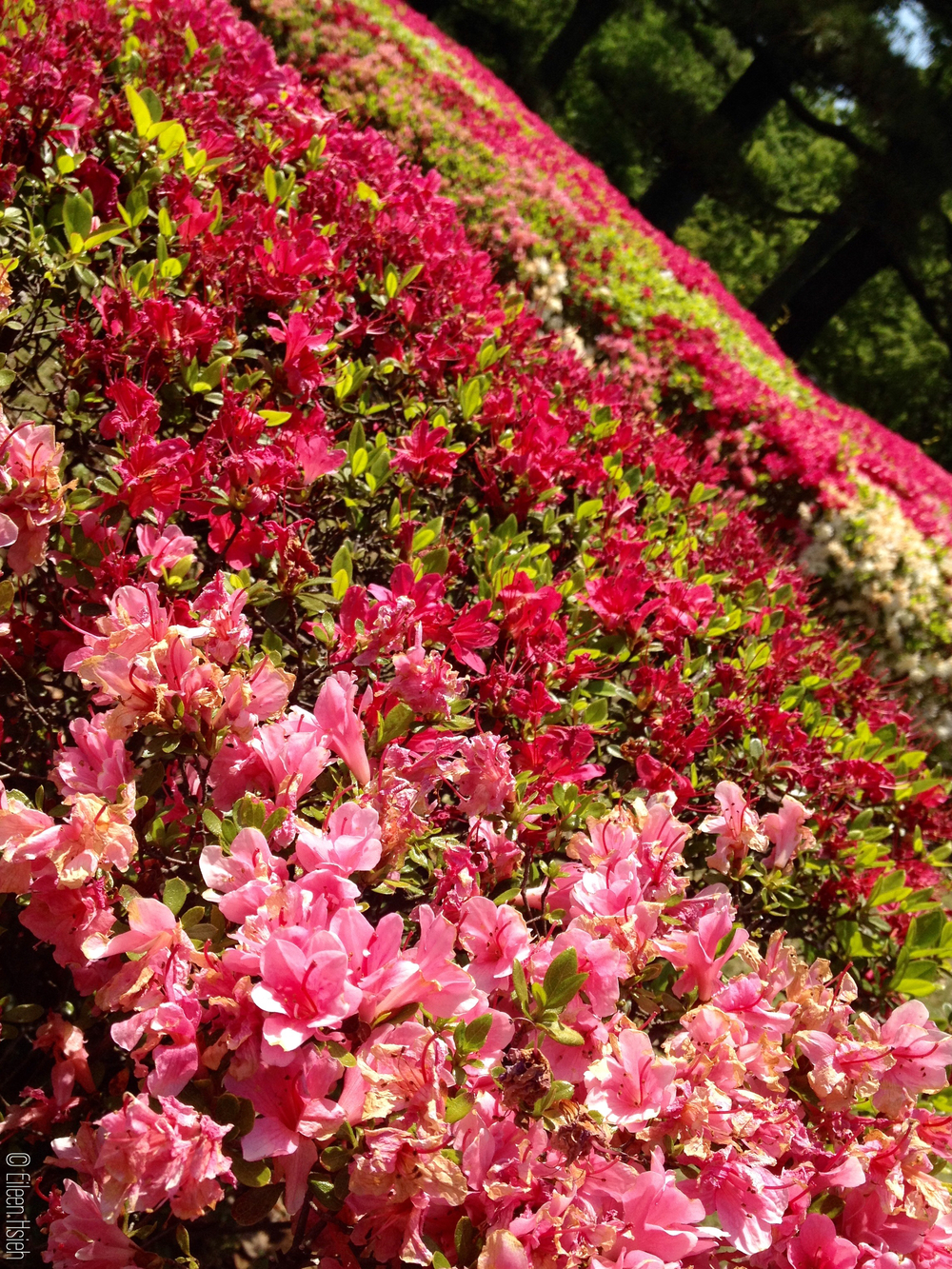 Ninomaru Garden. 二之丸庭園。© Eileen Hsieh