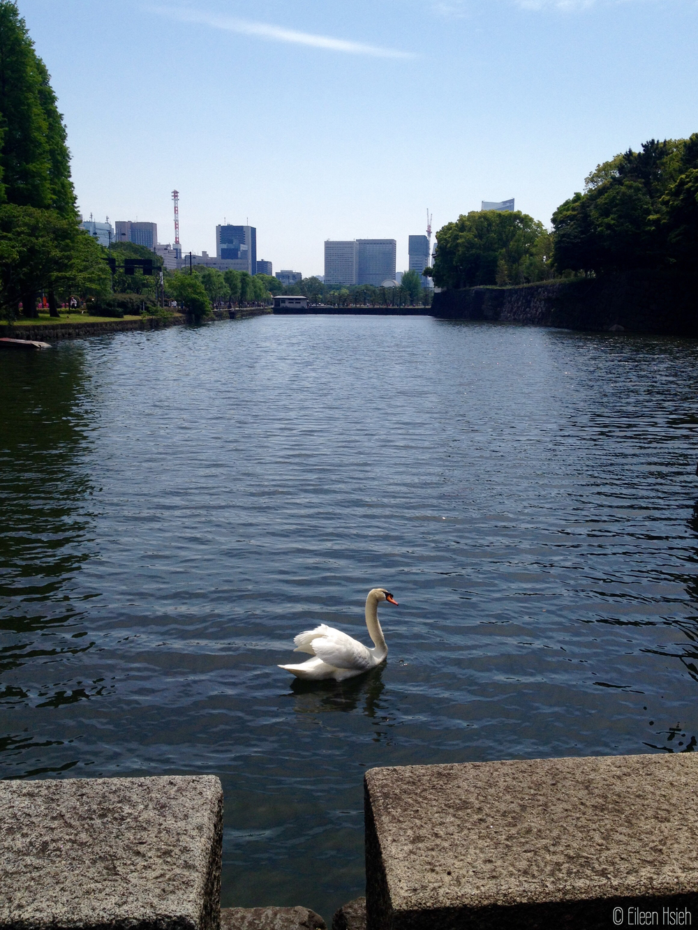 Imperial Palace moat's resident swan.    護城河逍遙的天鵝。© Eileen Hsieh