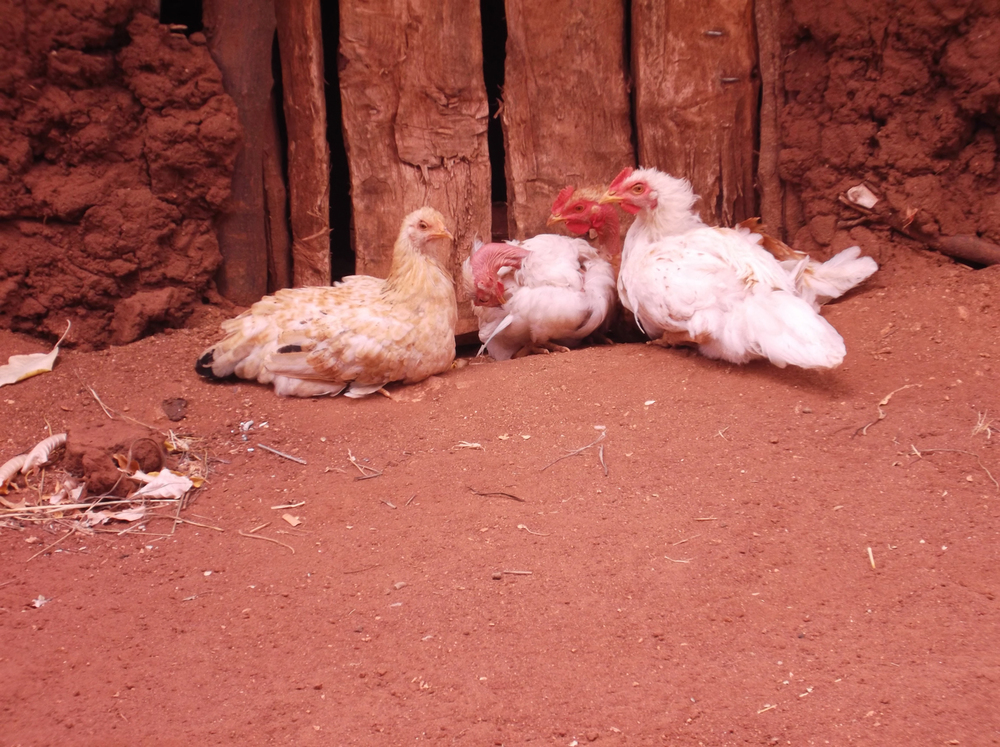 These hens can give me some eggs to enjoy.  The eggs can give me energy.  © Mwendwa Mutuku 2012 / ODI / PhotoVoice