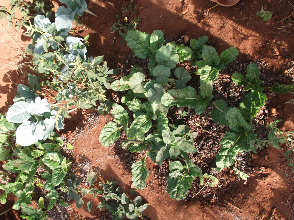 With the money that we got we bought seeds.  We plant them and grow kales and spinach which we eat with potatoes, it's good for you.  The other greens (Kunde - a local vegetable) are seasonal and you only get them during the rainy season.  Now we irrigate and have spinach and kales all year round.  © N.K. 2012 / ODI / PhotoVoice