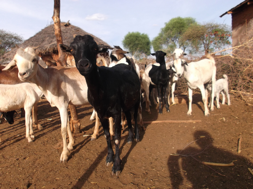 Without the goats we wouldn't have milk and we would have to buy it which is expensive for us. We use milk to make morning tea.  © N.K. 2012 / ODI / PhotoVoice