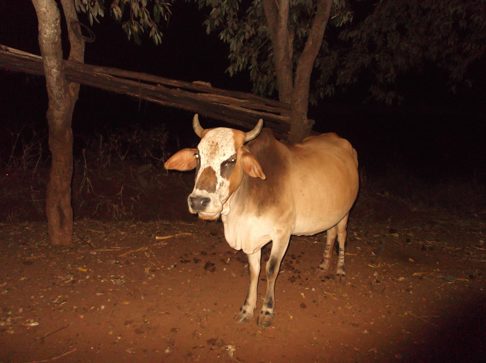 When we started getting the money we just spent a little and saved the rest. We saved and saved so we could buy this cow.  © Muthoka Kiamba 2012 / ODI / PhotoVoice