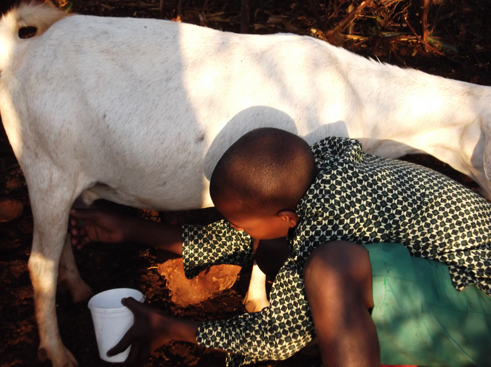 My brother Mutunga is milking the goat, he does the milking every morning.  We bought the goat with the money from the cash transfer programme.  We used to have strong tea in the morning but now we can have milk in our tea.  We sell the babies of the goat to buy what we don't have.  © Musyoka 2012 / ODI / PhotoVoice