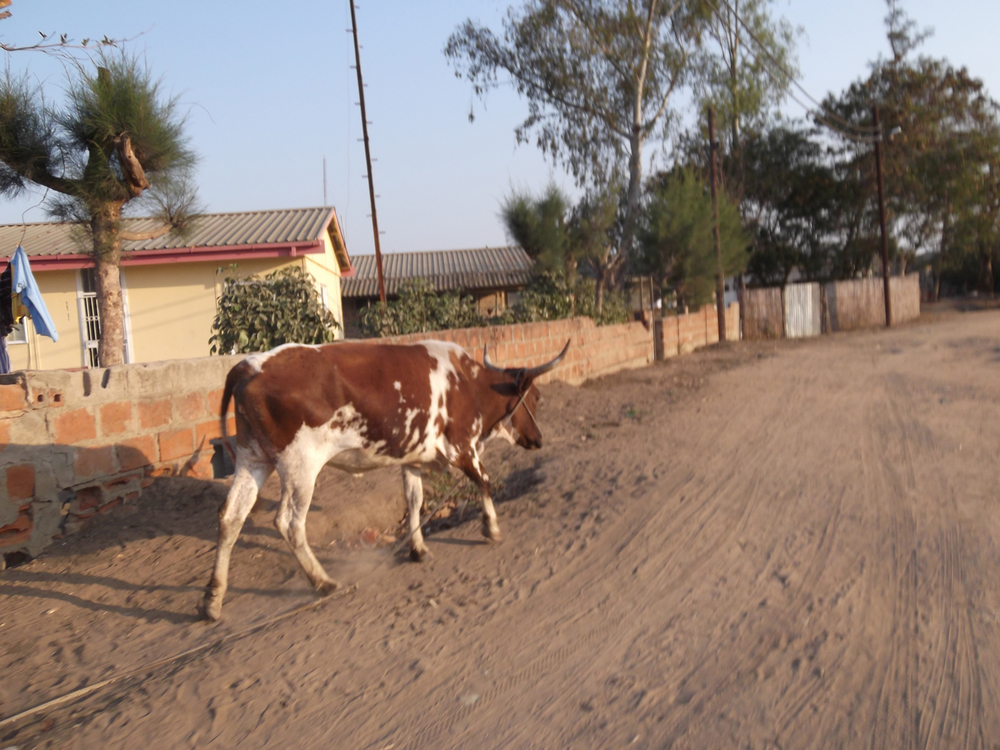 I like cows very much, because they help us to prepare the land so it can give food to us.  © Fabião António Tivane 2012 / ODI / PhotoVoice