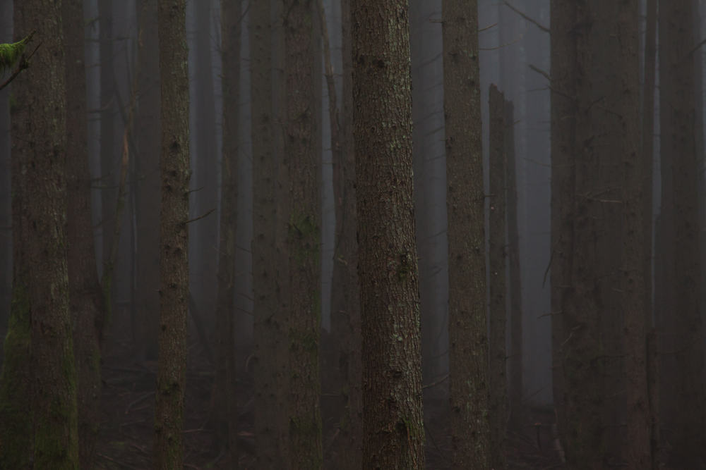 Spruce Trees stand in the fog on the side of Tiger Mountain on a rainy day outside of Issaquah, WA.