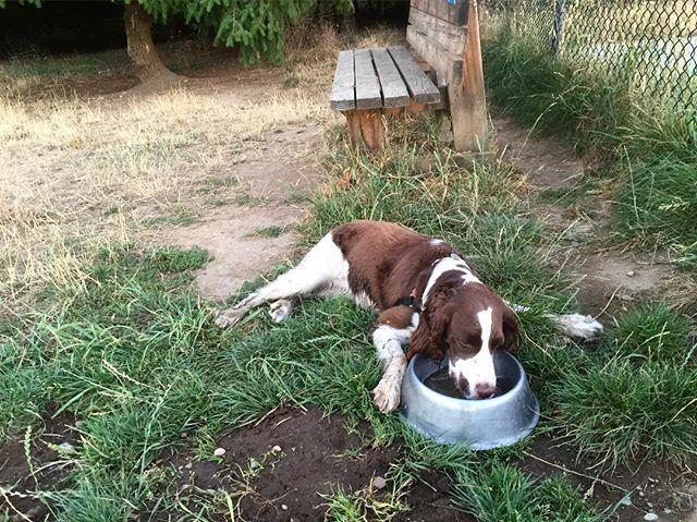When you just have way too much dog park #dogsofinstagram #dogsofseattle #spaniel #spanielsofinstagram