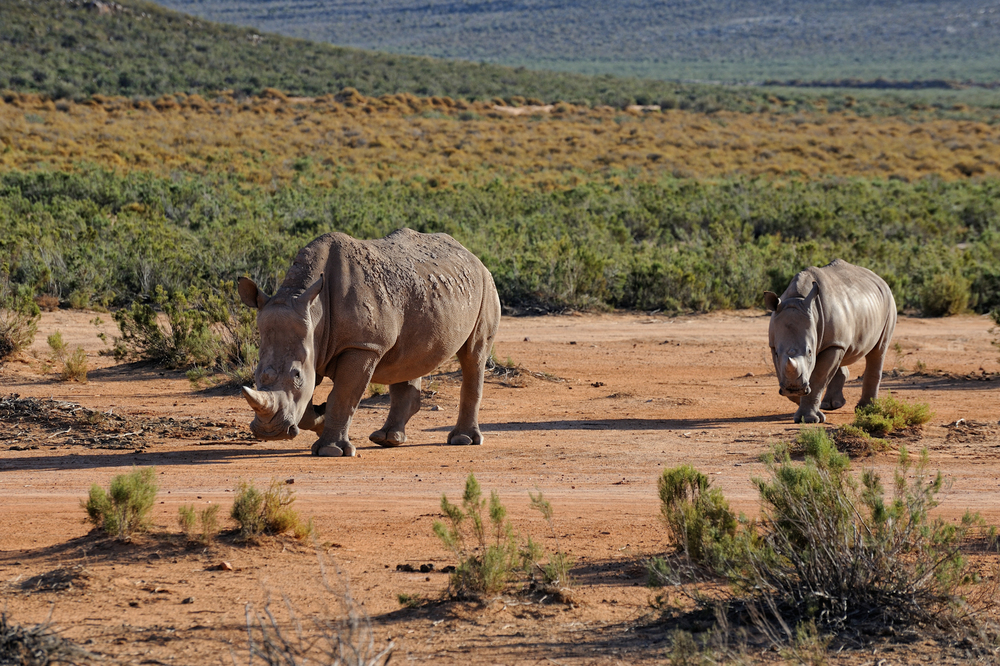 Lions and Rhinos and...