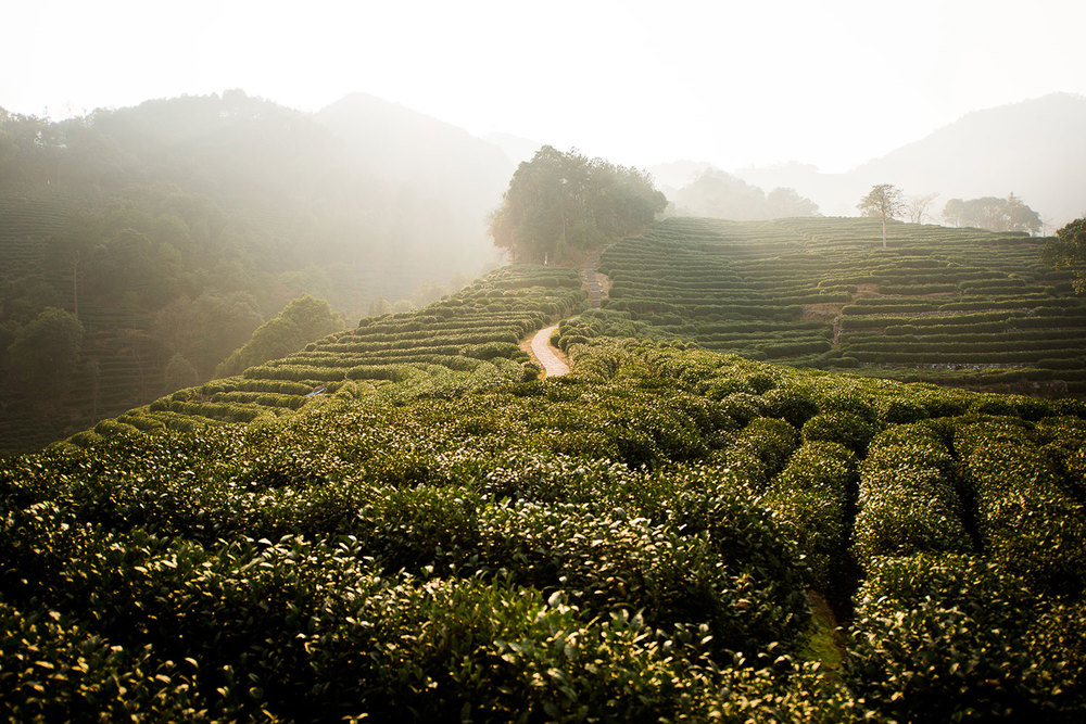 Hangzhou-tea-plantation.jpg