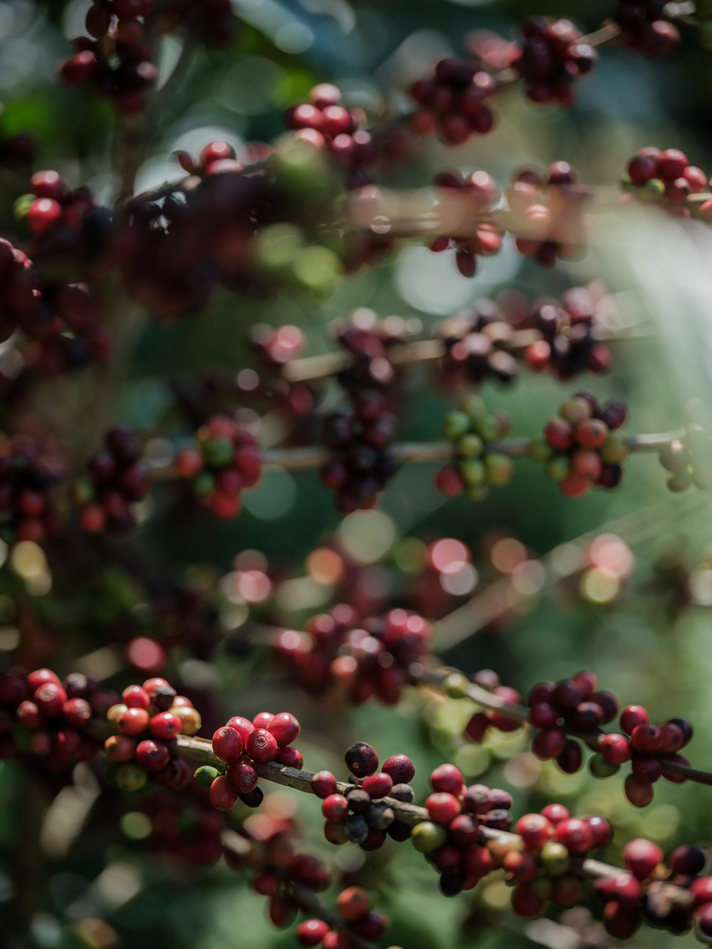 LDC-coffee-Yunnan-web-2187.jpg